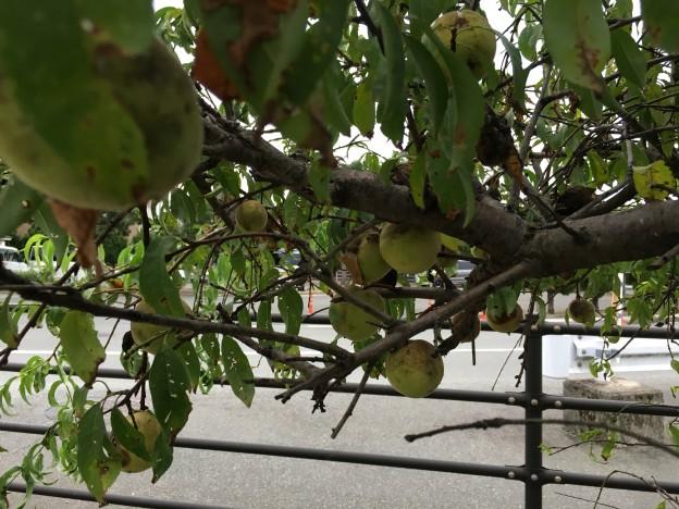 枝垂れ桃の実